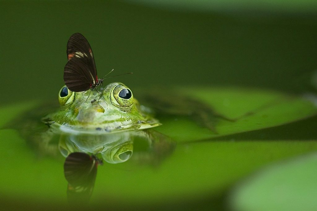 frog-butterfly-pond
